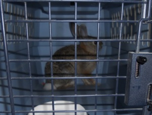 caged bunny