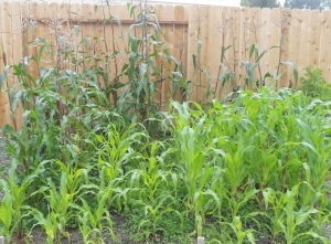 Backyard Cornfield